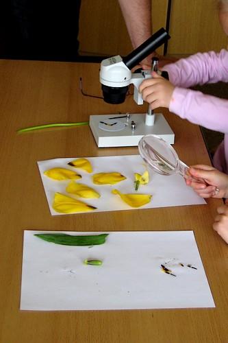 Frühling - Wir untersuchen eine Tulpe